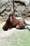 bornean orangutan Royaltyfri Fotografi