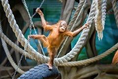 Bornean orangutan cub Royalty Free Stock Images