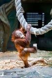 Bornean orangutan cub Stock Images