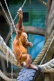 Bornean orangutan cub Royalty Free Stock Photos