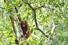 Bornean orangutan cub on the tree. Stock Photo