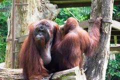 The Bornean orangutan differs in appearance from the Sumatran or. Angutan, with a broader face and shorter beard and also slightly darker in color Royalty Free Stock Photos