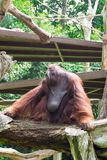 The Bornean orangutan differs in appearance from the Sumatran or. Angutan, with a broader face and shorter beard and also slightly darker in color Royalty Free Stock Photography