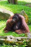 The Bornean orangutan differs in appearance from the Sumatran or. Angutan, with a broader face and shorter beard and also slightly darker in color Stock Image