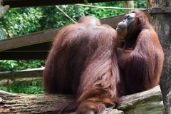 The Bornean orangutan differs in appearance from the Sumatran or. Angutan, with a broader face and shorter beard and also slightly darker in color Stock Photos