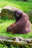 The Bornean orangutan differs in appearance from the Sumatran or. Angutan, with a broader face and shorter beard and also slightly darker in color Stock Images