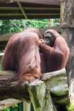 The Bornean orangutan differs in appearance from the Sumatran or. Angutan, with a broader face and shorter beard and also slightly darker in color Royalty Free Stock Photo