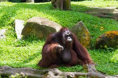 The Bornean orangutan differs in appearance from the Sumatran or. Angutan, with a broader face and shorter beard and also slightly darker in color Royalty Free Stock Images