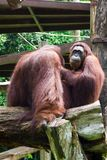 The Bornean orangutan differs in appearance from the Sumatran or. Angutan, with a broader face and shorter beard and also slightly darker in color Royalty Free Stock Image