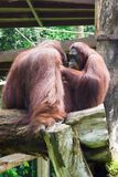 The Bornean orangutan differs in appearance from the Sumatran or. Angutan, with a broader face and shorter beard and also slightly darker in color Stock Photo