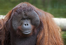 Bornean orangutan 9 Royalty Free Stock Photos