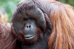 Bornean orangutan 11 Stock Image
