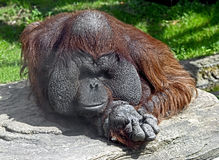 Bornean orangutan 12 Stock Photos