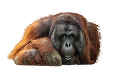 Free Bornean Orangutan Lying Down Extracted Royalty Free Stock Photo - 129783515