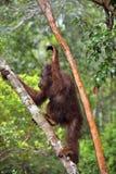 Bornean orangutan na drzewie pod deszczem Fotografia Royalty Free