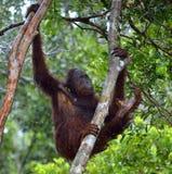 Bornean orangutan na drzewie pod deszczem Zdjęcia Royalty Free