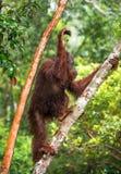 Bornean orangutan na drzewie pod deszczem w dzikiej naturze Zdjęcia Royalty Free