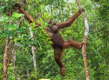 Bornean orangutan na drzewie pod deszczem w dzikiej naturze Zdjęcia Stock