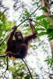 Bornean orangutan na drzewie Pongo pygmaeus Zdjęcia Royalty Free