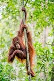 Bornean orangutan na drzewie Pongo pygmaeus Zdjęcie Stock