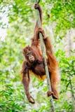 Bornean orangutan na drzewie Pongo pygmaeus Obraz Royalty Free