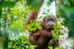 Bornean orangutan na drzewie w dzikiej naturze Zdjęcia Stock