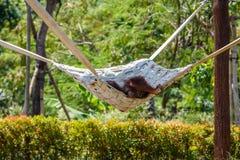 Bornean orangutan obwieszenie na hamaku na drzewie w zoo brunetek błękitny boże narodzenia przyglądają się żeńskiego portreta str obrazy stock