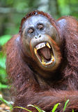 Bornean orangutan with open mouth Royalty Free Stock Photo