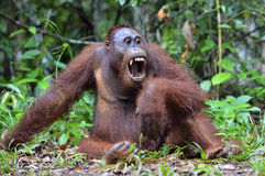 Bornean orangutan with open mouth Stock Images