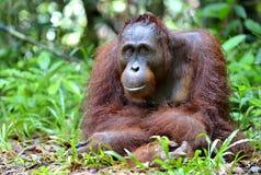 Bornean orangutan Royalty Free Stock Photo
