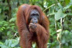 Bornean orangutan Stock Photography