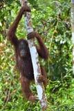 Bornean orangutan pod deszczem na drzewie Obraz Stock