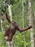 Bornean orangutan pod deszczem na drzewie Fotografia Royalty Free