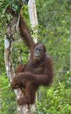 Bornean orangutan pod deszczem na drzewie w dzikiej naturze, Środkowy Bornean orangutan Pongo pygmaeus wurmbii w naturalnych brzę Fotografia Royalty Free