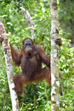 Bornean orangutan pod deszczem na drzewie w dzikiej naturze, Środkowy Bornean orangutan Pongo pygmaeus wurmbii w naturalnych brzę Zdjęcie Royalty Free