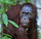 Bornean orangutan pod deszczem w dzikiej naturze Zdjęcia Royalty Free