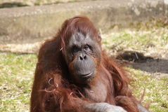 Bornean Orangutan - Pongo pygmaeus Royalty Free Stock Images