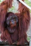 Bornean orangutan - Pongo Pygmaeus Arkivbild