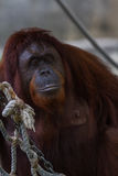 Bornean orangutan - Pongo Pygmaeus Arkivfoto