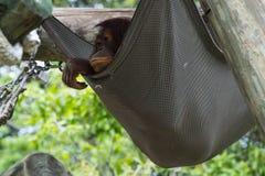 Bornean orangutan - Pongo Pygmaeus Royaltyfri Foto