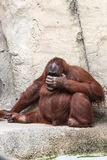 Bornean orangutan - Pongo Pygmaeus Fotografering för Bildbyråer