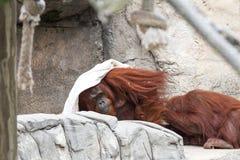 Bornean orangutan - Pongo Pygmaeus Arkivbilder
