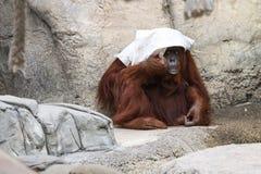 Bornean orangutan - Pongo Pygmaeus Royaltyfri Fotografi