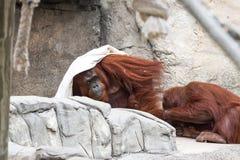 Bornean orangutan  - Pongo pygmaeus Stock Photo