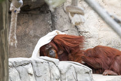 Bornean orangutan  - Pongo pygmaeus Stock Images