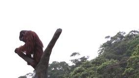 A Bornean orangutan, Pongo pygmaeus, climbed up to the top of the tree