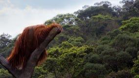 A Bornean orangutan, Pongo pygmaeus, climbed up to the top of the tree with blue sky royalty free stock image