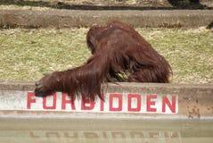Bornean Orangutan - Pongo pygmaeus - Forbidden Stock Image