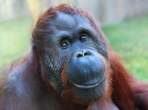 The Bornean orangutan (Pongo pygmaeus). Stock Images