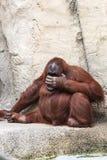 Bornean orangutan  - Pongo pygmaeus Stock Image